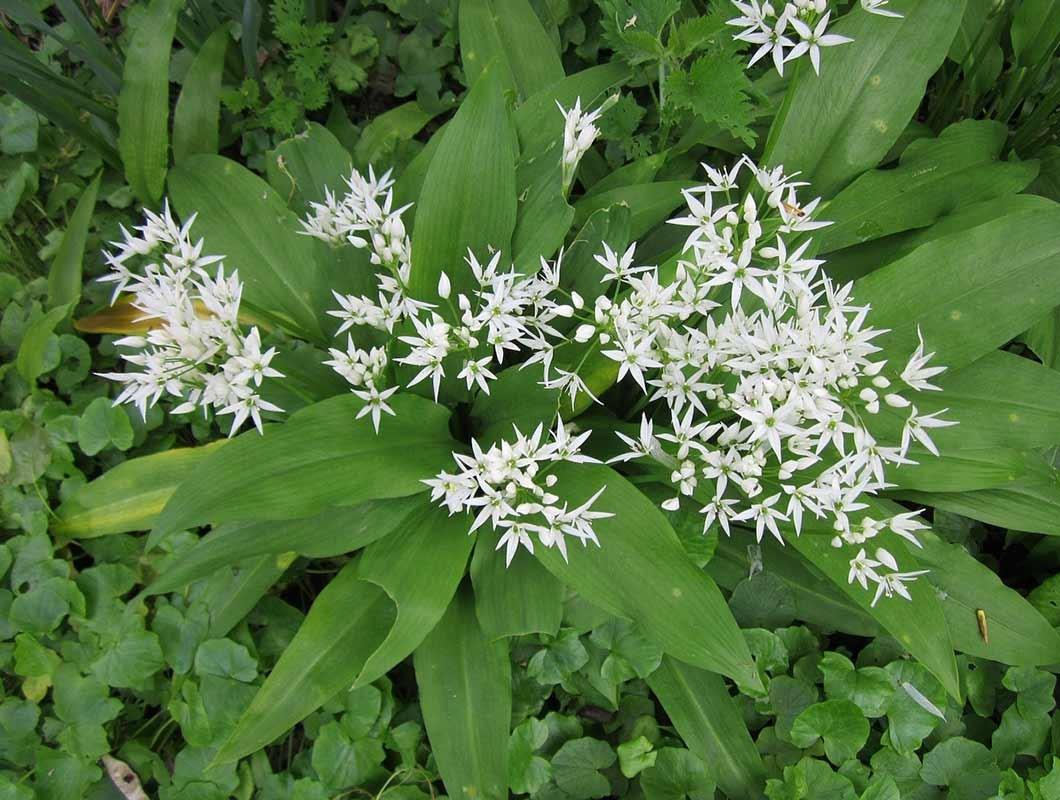 essbare frühlingsblumen bärlauch