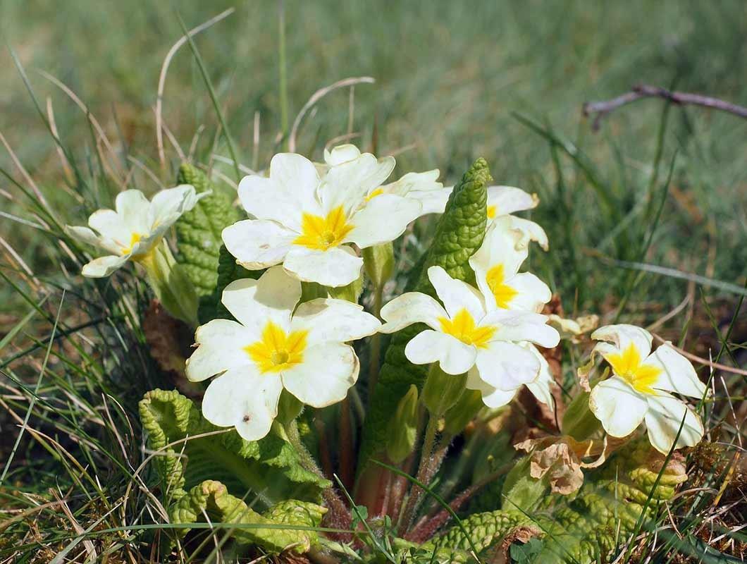 essbare frühlingsblumen primel