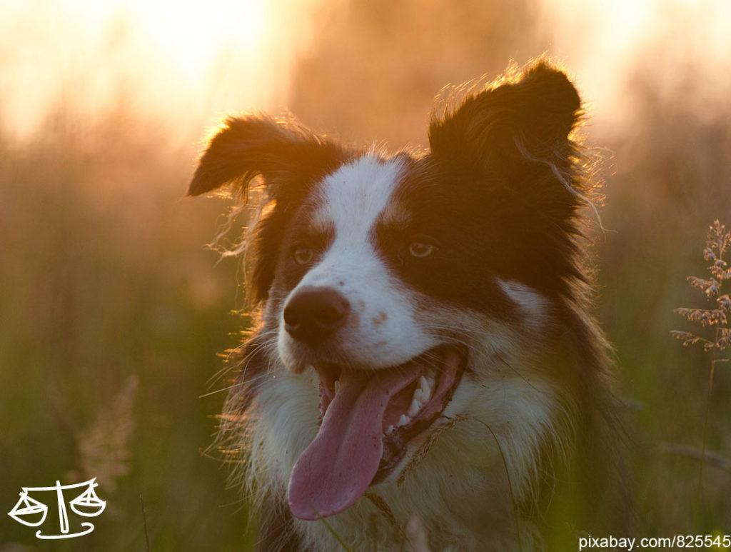 Welcher Hund passt zu meinem Sternzeichen Waage