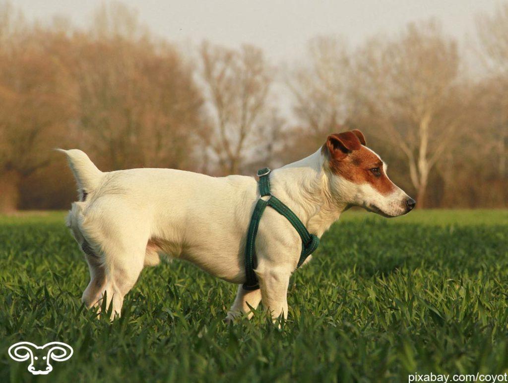 Welcher Hund passt zu meinem Sternzeichen Widder