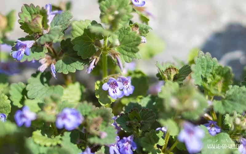 Essbare Wildkräuter: Gundermann (violette Blume)