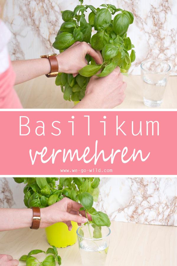 Basilikum vermehren mit Stecklingen